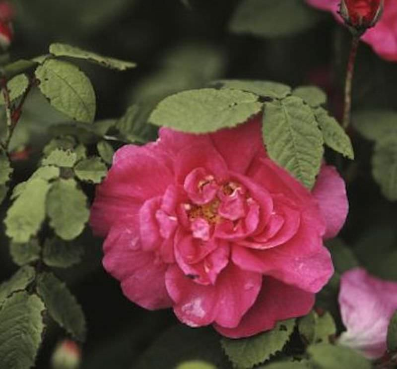 apothekerrose rosa gallica officinalis. Black Bedroom Furniture Sets. Home Design Ideas