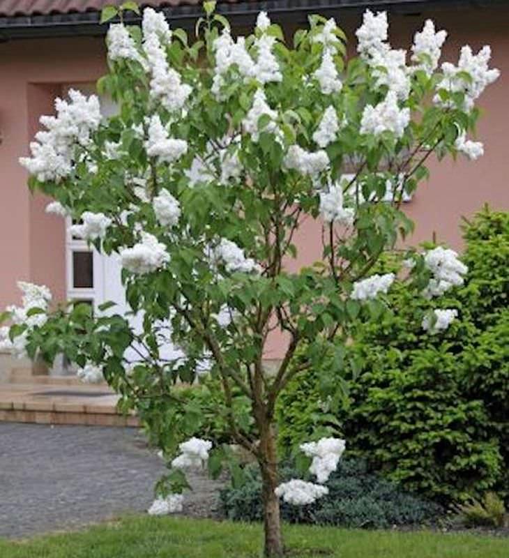fiederbl ttriger flieder 80 100cm syringa pinnatifolia. Black Bedroom Furniture Sets. Home Design Ideas