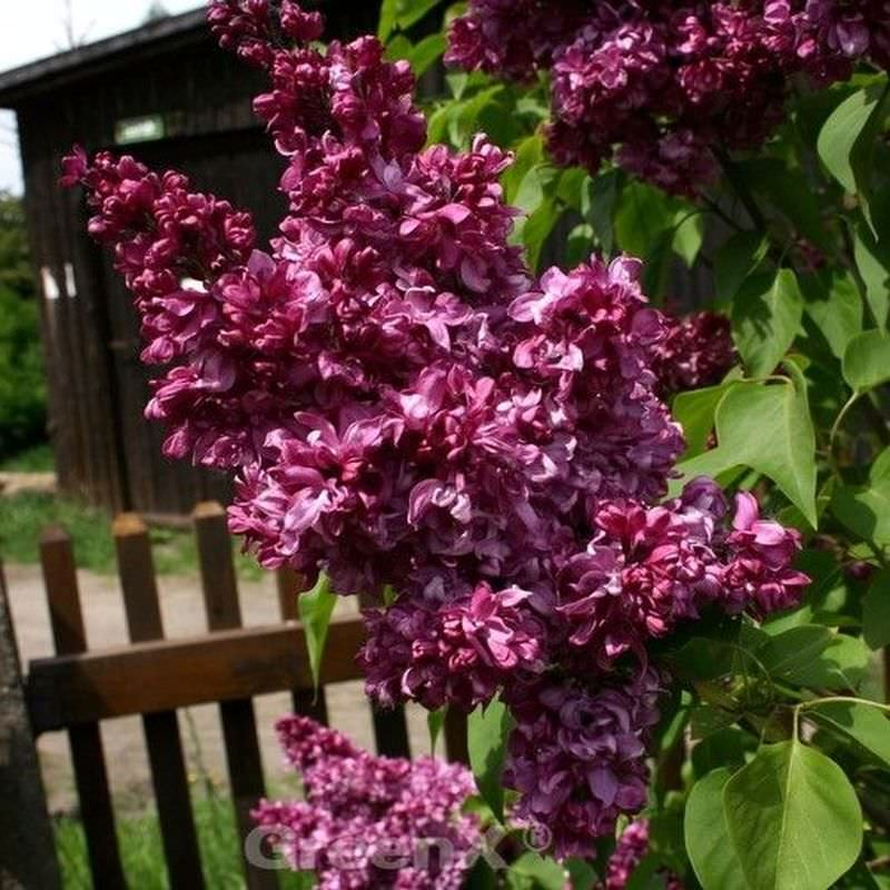 kanadische flieder red wine 40 60cm syringa prestoniae. Black Bedroom Furniture Sets. Home Design Ideas