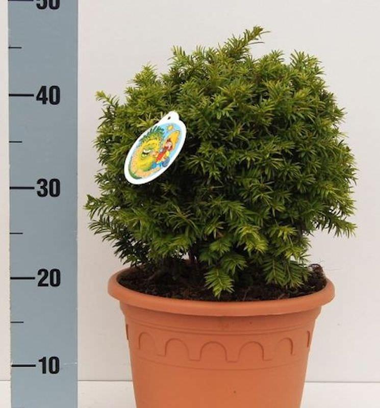 Kugelschnitt Goldeibe Golden Nugget 25-30cm Taxus baccata