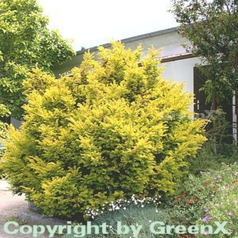 goldene straucheibe 40 50cm taxus baccata semperaurea. Black Bedroom Furniture Sets. Home Design Ideas