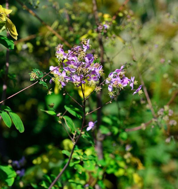 Prächtige Wiesenraute Thalictrum rochebrunianum