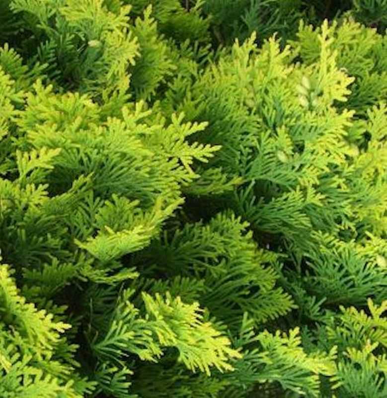 lebensbaum golden smaragd thuja occidentalis golden smaragd. Black Bedroom Furniture Sets. Home Design Ideas