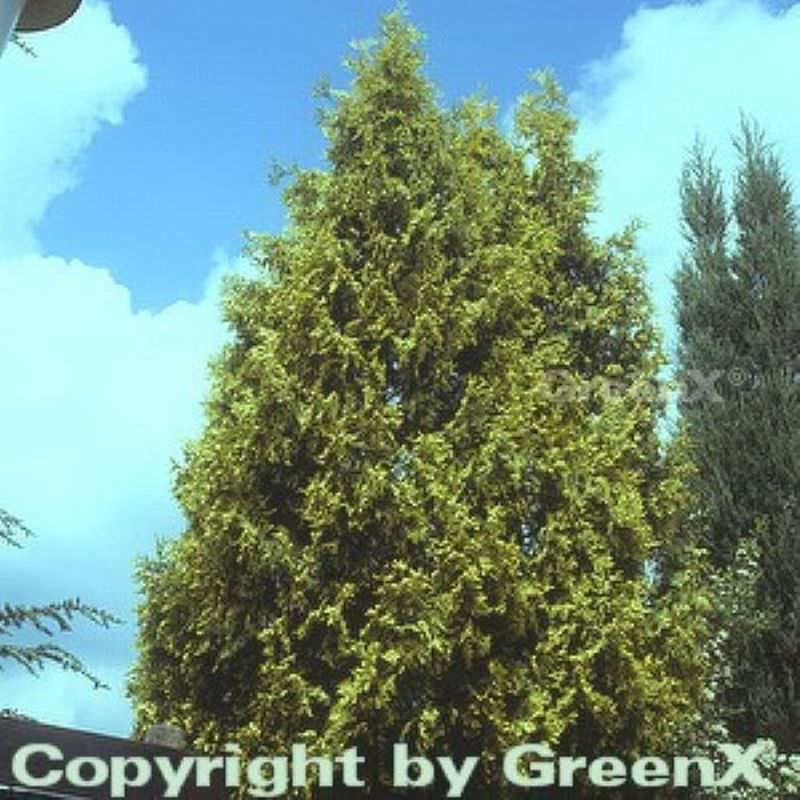 gelber riesenlebensbaum thuja plicata aurescens. Black Bedroom Furniture Sets. Home Design Ideas