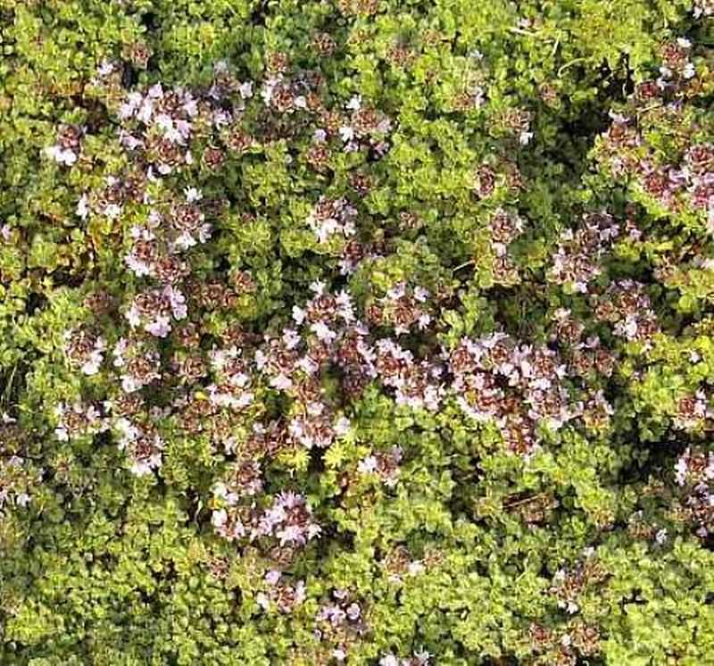 Teppich Thymian  Thymus praecox kaufen bei Hoodde