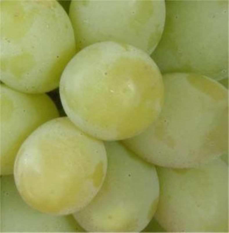 Weintraube - Wände begrünen und leckere Früchte