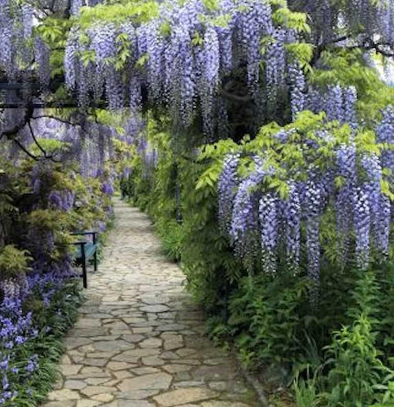 blauregen domino 125 150cm wisteria floribunda ebay. Black Bedroom Furniture Sets. Home Design Ideas