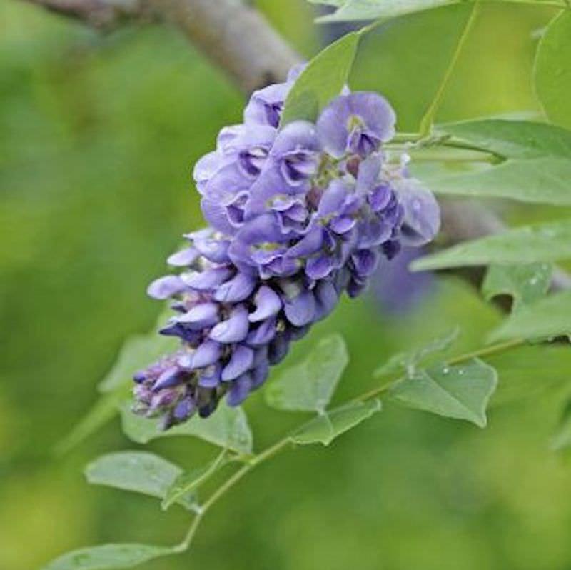 amerikanischer blauregen rosea longwood purple 60 80cm wisteria frutescens kaufen bei. Black Bedroom Furniture Sets. Home Design Ideas