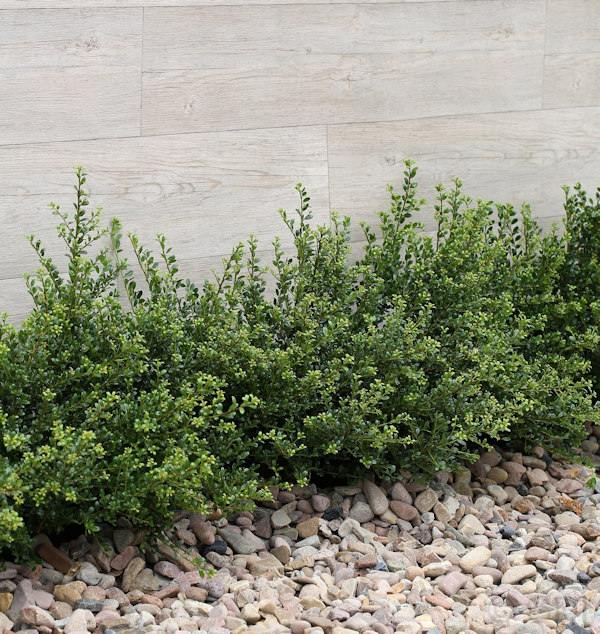 l ffelilex stechpalme 30 40cm ilex crenata rotundifolia. Black Bedroom Furniture Sets. Home Design Ideas