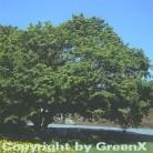 Fächer Ahorn 125-150cm - Acer palmatum