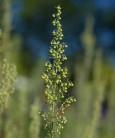 Römischer Wermut - Artemisia pontica
