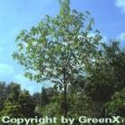 Indianerbanane 125-150cm - Asimina triloba