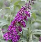 Schmetterlingsstrauch Dark Pink 30-40cm - Buddleja
