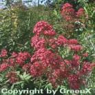 Spornblume Coccineus - Centranthus ruber