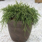 Grüne Fadenzypresse 70-80cm - Chamaecyparis pisifera