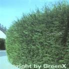 Leyland Zypresse 40-60cm - Cupressocyparis Leylandii