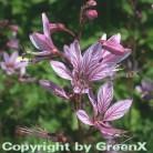 Brennender Busch - XXXL Topf - Dictamnus albus