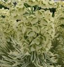 Palisaden Wolfsmilch Tasmanian Tiger - Euphorbia characias