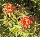 Himalaja Wolfsmilch Dixter - Euphorbia griffithii