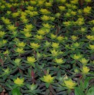 Gold Wolfsmilch Bonfire - Euphorbia polychroma