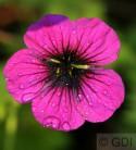 Storchenschnabel Giuseppii - Geranium cinereum