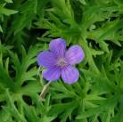 Garten Storchschnabel Nimbus - Geranium cinereum