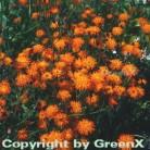 Orangerotes Habichtskraut - Hieracium aurantiacum