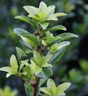 Ilex mutchagara 30-40cm - Ilex mutchagara