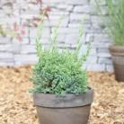 Strauchwacholder Robust Green 20-25cm - Juniperus chinensis