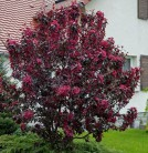 Zierapfel Dark Rosaleen 60-80cm - Malus Hybride