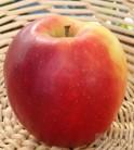 Apfelbaum Jonagold 60-80cm - süß und saftig Herbstapfel