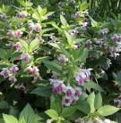 Immenblatt Royal Velvet Distinction - Melittis melissophyllum