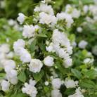 Gartenjasmin Snowbelle 60-80cm