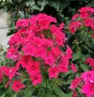 Hohe Flammenblume Raving Beauty - Phlox paniculata