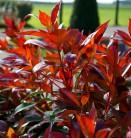 Glanzmispel Mandarino 30-40cm - Photinia fraseri