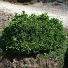 Blaue Igelfichte 60-70cm - Picea glauca