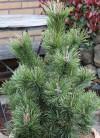 Kegel Bergkiefer 25-30cm - Pinus mugo