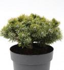 Zwerg Kiefer Sherwood Compact 20-25cm - Pinus mugo