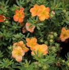 10x Fünffingerstrauch Mango Tango - Potentilla fruticosa