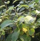 Strauch Weide 60-80cm - Salix magnifica