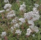 Niedriger Weißer Mauerpfeffer Coral Carpet - großer Topf - Sedum album