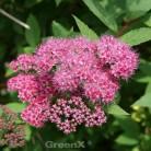 Sommerspierstrauch Zigeunerblut 20-30cm - Spiraea japonica