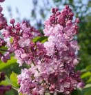 Edelflieder Addie Tischer - Kircher-Collection 100-125cm - Syringa vulgaris