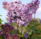 Edelflieder Antonie Buchner - Kircher-Collection 125-150cm - Syringa vulgaris