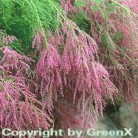 Sommertamariske 60-80cm - Tamarix ramosissima