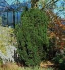 Bechereibe Stricta Virdis 40-50cm - Taxus media