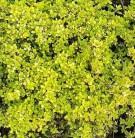 Zitronenthymian Bertram Anderson - Thymus citriodorus