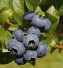 Hochstamm Heidelbeere Bluecrop 60-80cm - Vaccinium corymbosum