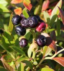 Heidelbeere Putte 40-60cm - Vaccinium corymbosum