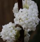 Hochstamm Winter Duftschneeball Candidissimum 80-100cm - Viburnum farreri